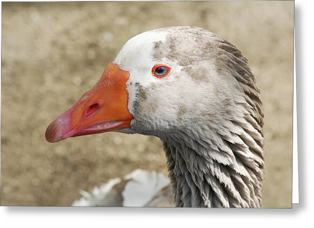 Blue-eyed Goose Greeting Card by Bob and Jan Shriner