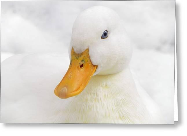 Pamela Phelps Greeting Cards - Blue Eyed White Duck Greeting Card by Pamela Phelps
