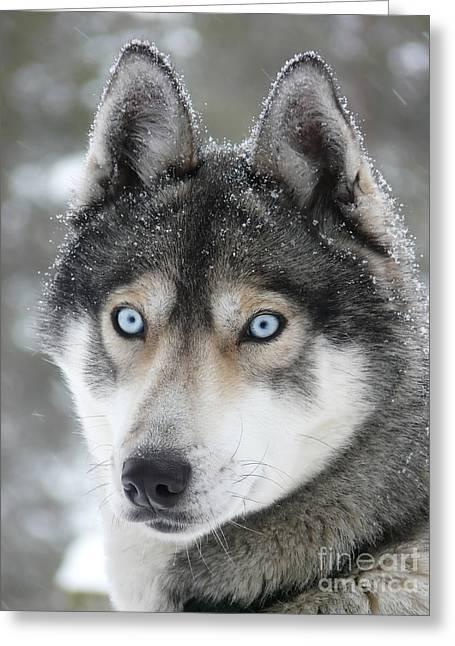 Husky Greeting Cards - Blue eyes husky dog Greeting Card by iPics Photography