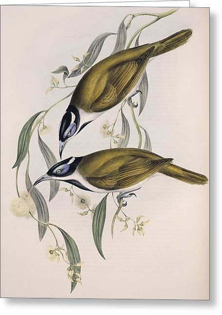 John Gould Greeting Cards - Blue-faced honeyeaters, artwork Greeting Card by Science Photo Library