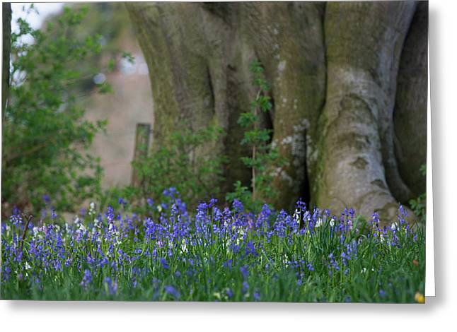 Blue Flowers Blossoming Hirsel Scottish Greeting Card by John Short