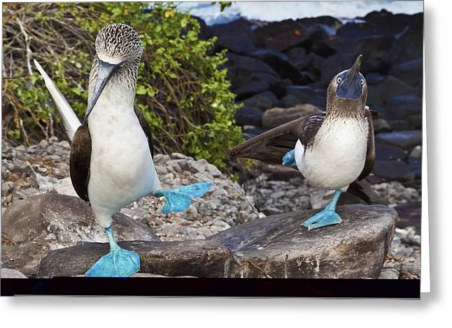 Aquatic Display Greeting Cards - Blue-footed booby courtship display Greeting Card by Science Photo Library