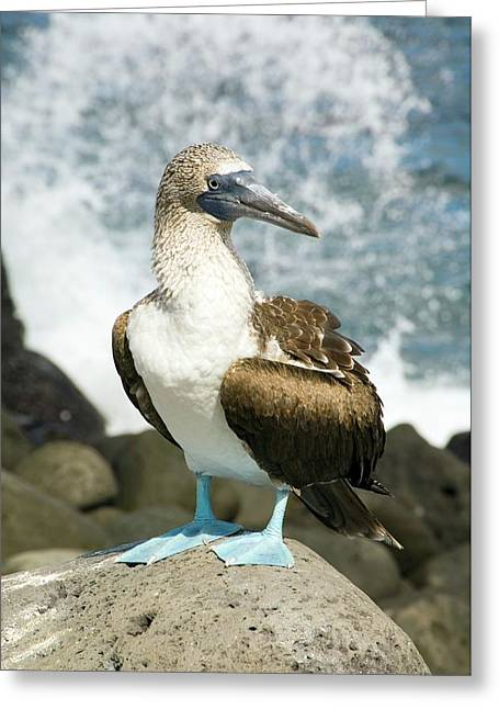 Blue-footed Booby Greeting Card by Daniel Sambraus