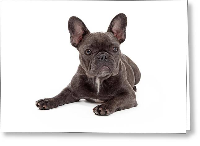 Full Body Photographs Greeting Cards - Blue French Bulldog Laying Greeting Card by Susan  Schmitz