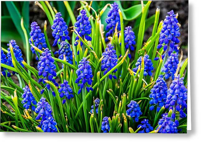 Blue Grapes Greeting Cards - Blue Grape Hyacinth 2 Greeting Card by Steve Harrington
