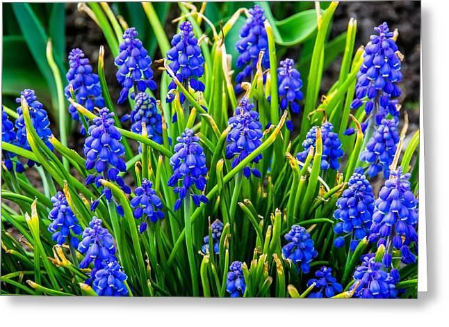 Blue Grapes Photographs Greeting Cards - Blue Grape Hyacinth 2 Greeting Card by Steve Harrington