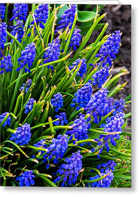Blue Grapes Photographs Greeting Cards - Blue Grape Hyacinth Greeting Card by Steve Harrington