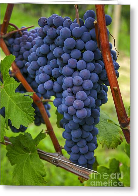 Wein Greeting Cards - Blue grapes Greeting Card by Patricia Hofmeester