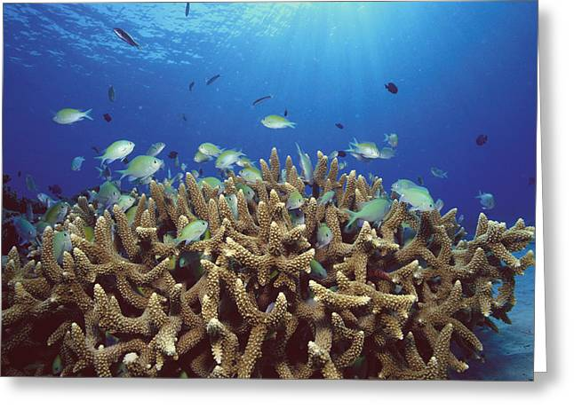 Photos Of Coral Greeting Cards - Blue-green Chromis Schooling Greeting Card by Yoji  Okata