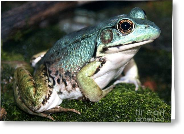 Morph Greeting Cards - Blue Green Frog close-up Greeting Card by Sylvie Bouchard