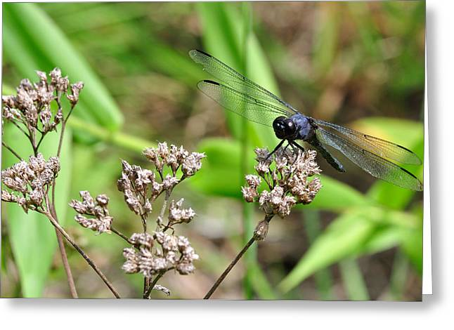 Dragonflies Greeting Cards - Blue-Grey Dragonfly 2 Greeting Card by J Scott Davidson