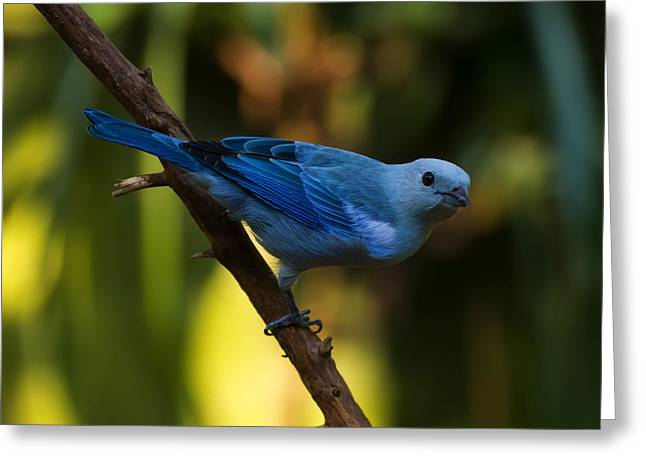 Blue Grey Tanager Greeting Card by Chris Flees