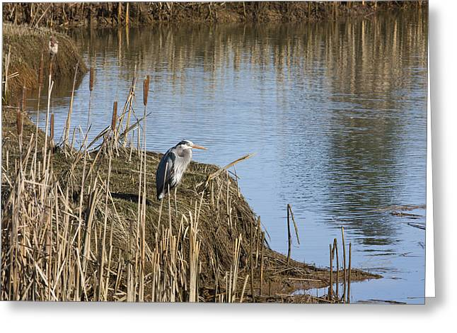 Bulrushes Greeting Cards - Blue Heron Greeting Card by Barbara  White