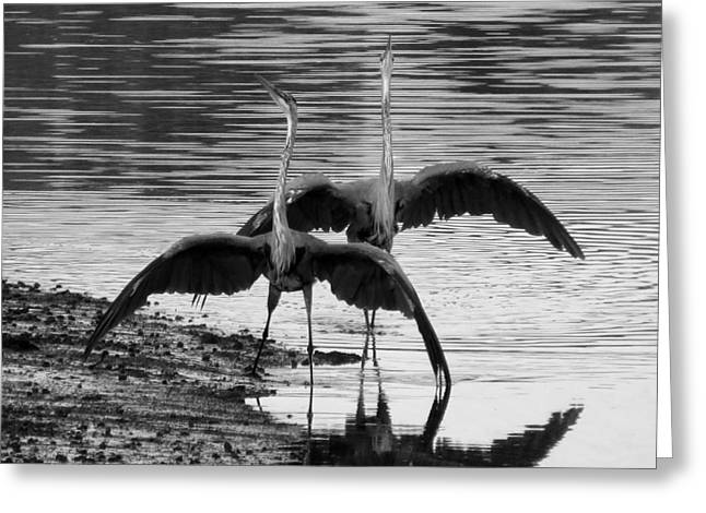 Dennis Ma Photographs Greeting Cards - Blue Heron Dance Greeting Card by Dianne Cowen