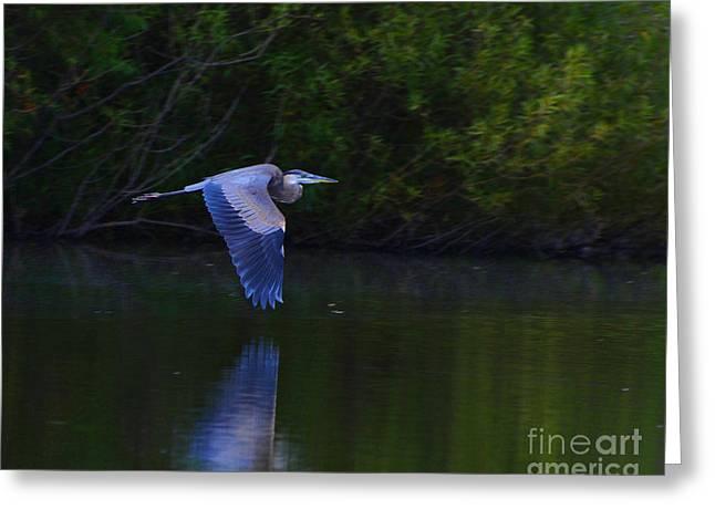 Fowl. Wildlife Greeting Cards - Blue Heron in Flight Greeting Card by Paul Ward