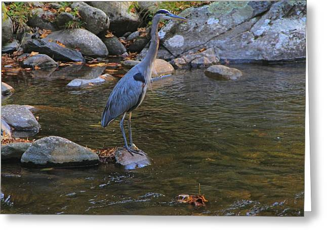 Tennessee River Greeting Cards - Blue Heron In The Smoky Mountains Greeting Card by Dan Sproul