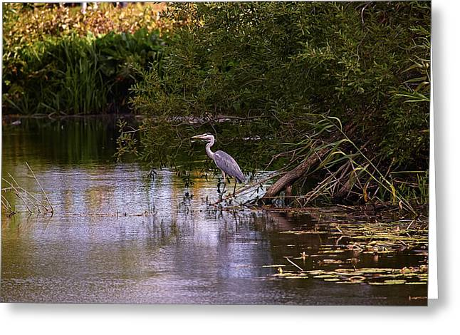 Day Lilly Greeting Cards - Blue heron Greeting Card by Leif Sohlman