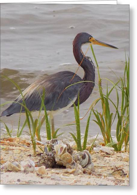 Great Blue Heron Framed Print Greeting Cards - Blue Heron on Oyster Shell Beach Greeting Card by Sheri McLeroy