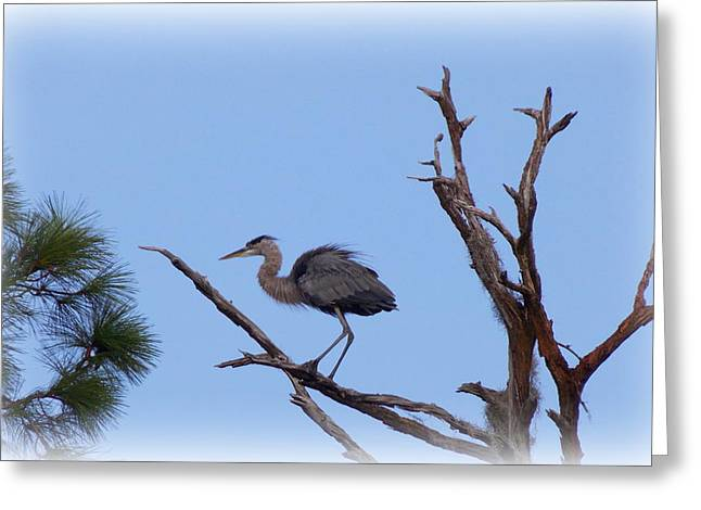Great Blue Heron Framed Print Greeting Cards - Blue Heron Perch Greeting Card by Sheri McLeroy