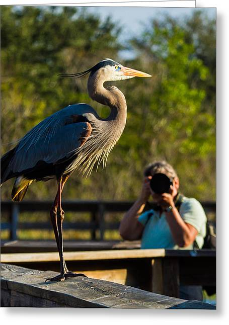 Great Blue Heron Greeting Cards - Blue Heron Ready for Its Closeup Greeting Card by Andres Leon