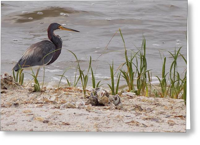 Great Blue Heron Framed Print Greeting Cards - Blue Heron Seashore Watch Greeting Card by Sheri McLeroy