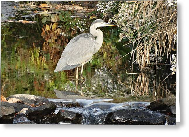 Reflection In Water Mixed Media Greeting Cards - Blue Heron Greeting Card by Sherry Brant