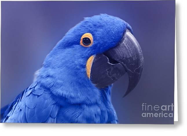 Hyacinth Macaw Greeting Cards - Blue Hyacinth Macaw - Anodorhynchus hyacinthinus - Puohokamoa Hoolawa Maui Hawaii  Greeting Card by Sharon Mau
