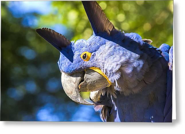 Hyacinth Macaw Greeting Cards - Blue Hyacinth Pose Greeting Card by Bill Tiepelman