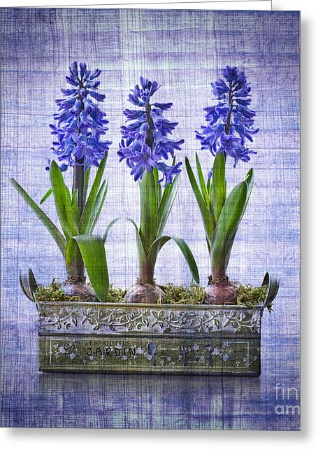 Trio Greeting Cards - Blue hyacinths Greeting Card by Delphimages Photo Creations