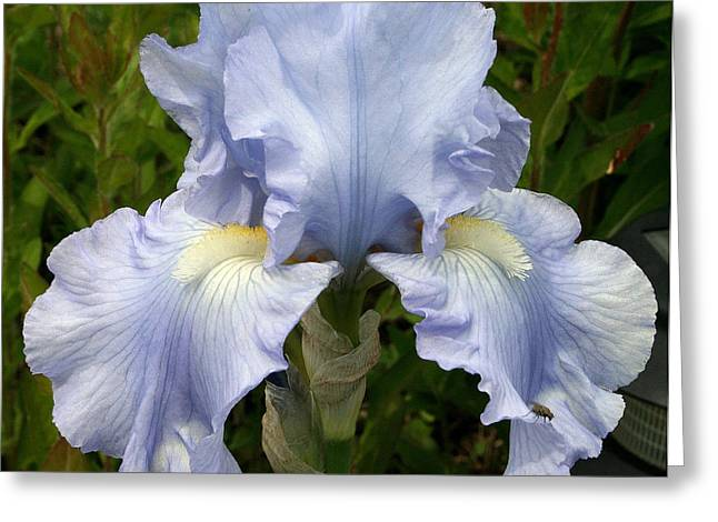Eloquence Greeting Cards - Blue Iris Greeting Card by Kay Novy