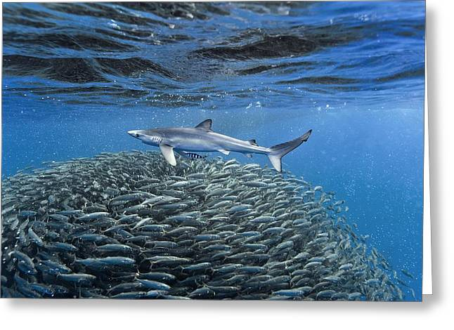 Fish. Spherical Greeting Cards - Blue jack mackerel and shark Greeting Card by Science Photo Library