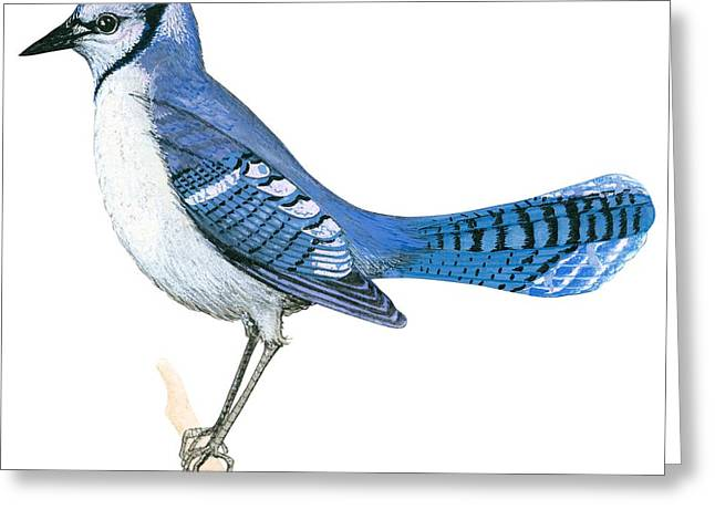 White Background Drawings Greeting Cards - Blue jay  Greeting Card by Anonymous