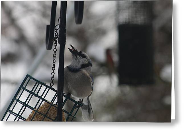 Stein Greeting Cards - Blue Jay at feeder Greeting Card by Valerie Stein