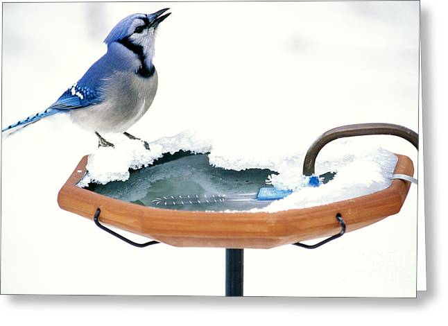 Blue Jay At Heated Birdbath Greeting Card by Steve and Dave Maslowski