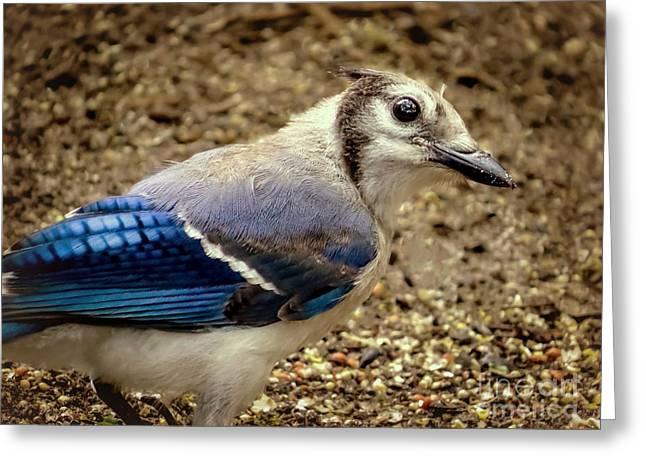 Jaybird Greeting Cards - Blue jay bird Greeting Card by Zina Stromberg