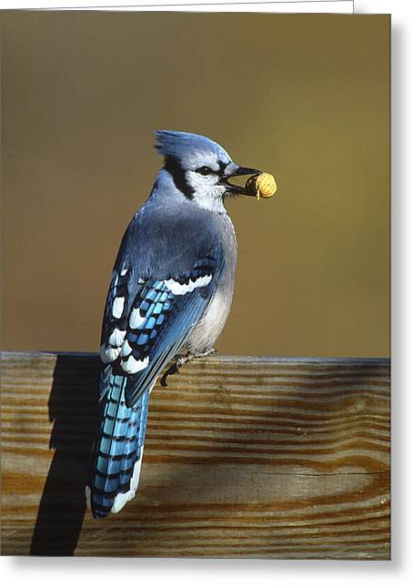 Blue Jay Images Greeting Cards - Blue Jay Carrying Peanut Long Island Greeting Card by Tom Vezo