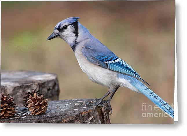 Animalia Greeting Cards - Blue Jay Cyanocitta Cristata Greeting Card by Linda Freshwaters Arndt