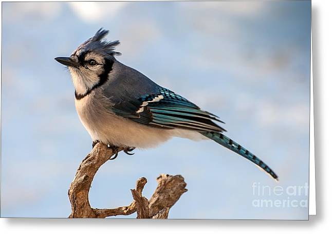 Blue Jay Images Greeting Cards - Blue Jay Greeting Card by Debbie Green