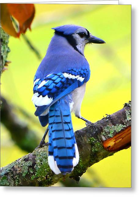 Jaybird Greeting Cards - Blue Jay Greeting Card by Deena Stoddard