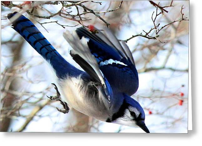 Feeder Framed Prints Greeting Cards - Blue Jay Dive Greeting Card by Diane V Bouse