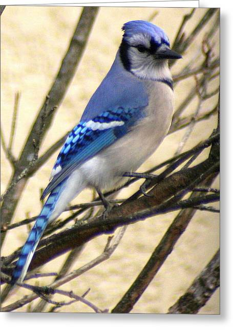 Jaybird Greeting Cards - Blue Jay in a Bush Greeting Card by Laurel Talabere