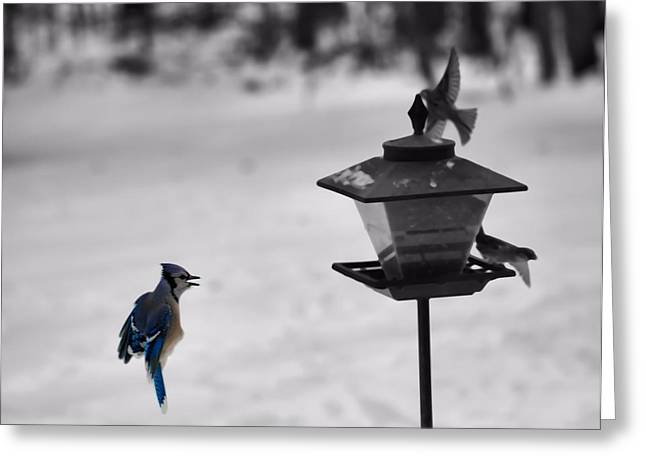 Snow Seeds Greeting Cards - Blue Jay In Flight Greeting Card by Dan Sproul