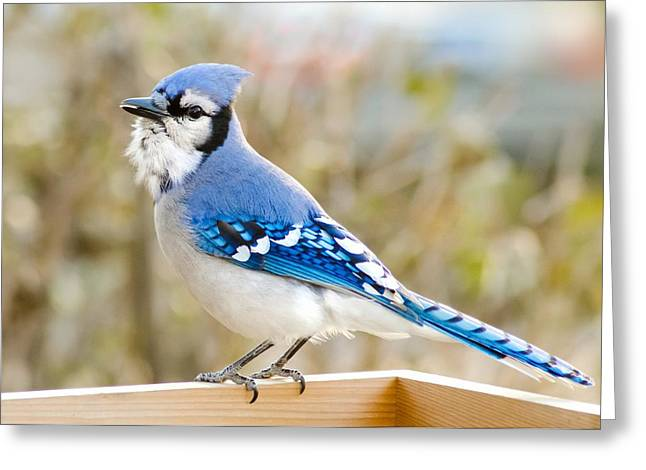 Birdwatching Greeting Cards - Blue Jay Greeting Card by Jim Hughes