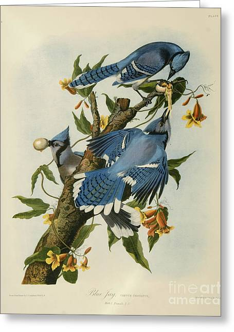 Louisiana Heron Greeting Cards - Blue Jay Greeting Card by Celestial Images