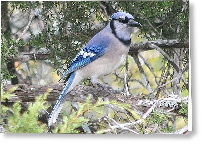 Kpl Greeting Cards - Blue Jay Greeting Card by Kathy Peltomaa Lewis