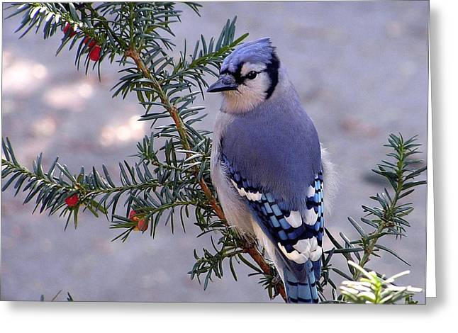 Bird On Tree Greeting Cards - Blue Jay - Morning Visitor  Greeting Card by Susan  Dimitrakopoulos