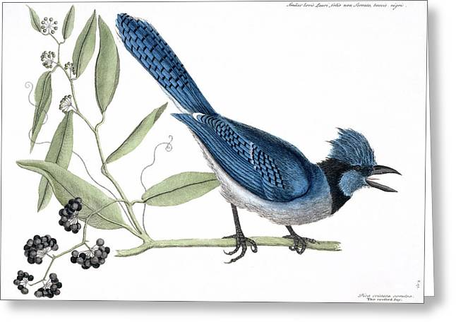 Blue Jay Greeting Card by Natural History Museum, London
