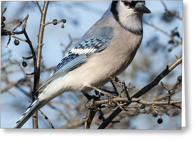 Festblues Greeting Cards - Blue Jay.. Greeting Card by Nina Stavlund