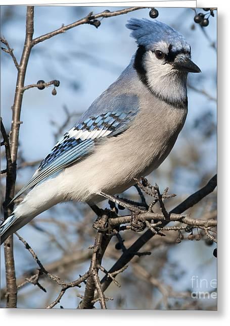 Festblues Greeting Cards - Blue Jay.. Greeting Card by Nina Stavlund