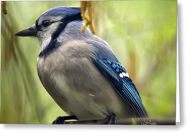 Bird On Tree Greeting Cards - Blue Jay On A Misty Spring Day - Square Format Greeting Card by Lois Bryan